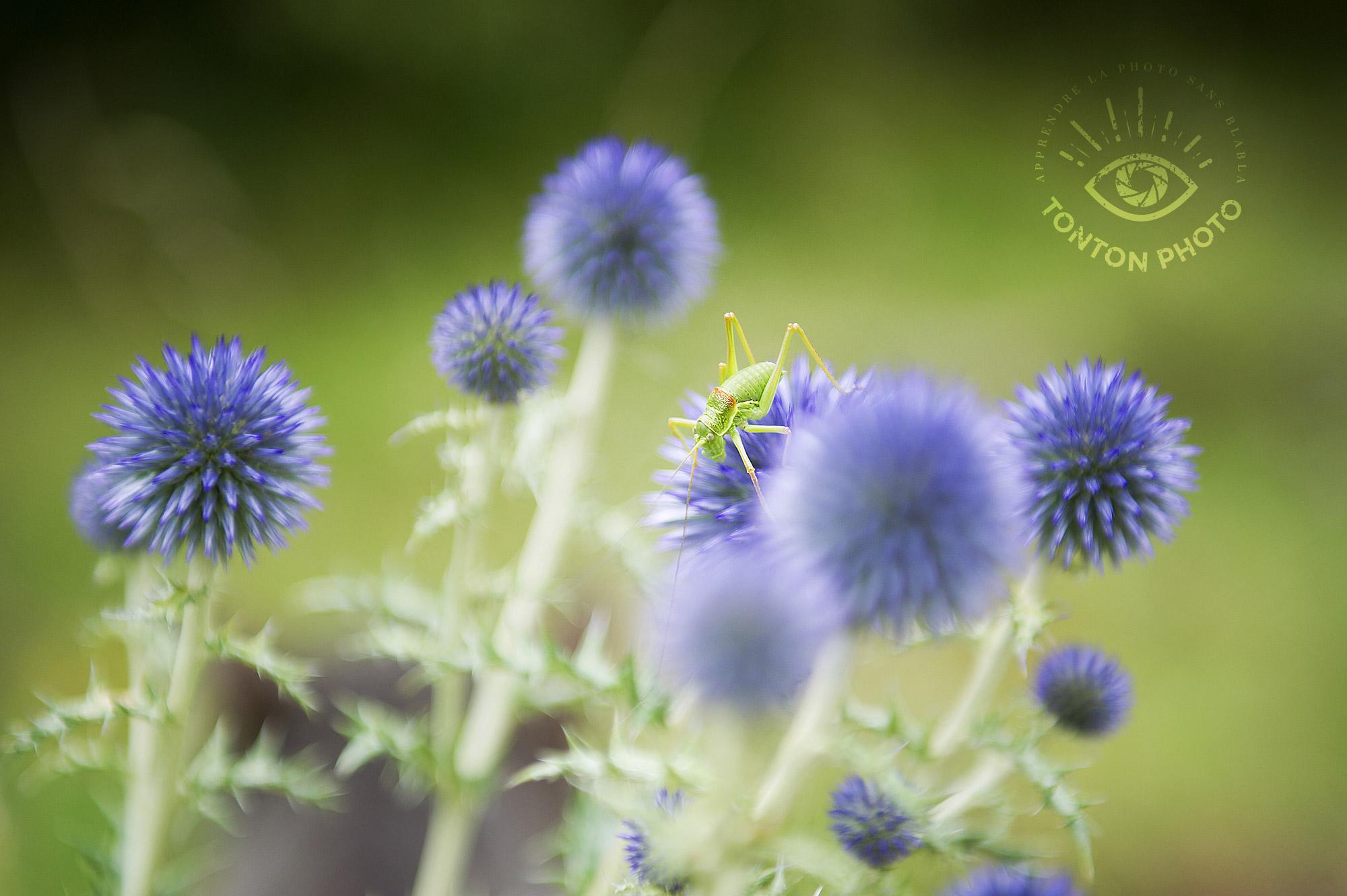 Sauterelle casquée dans les fleurs de chardon, Drôme © Clément Racineux / Tonton Photo