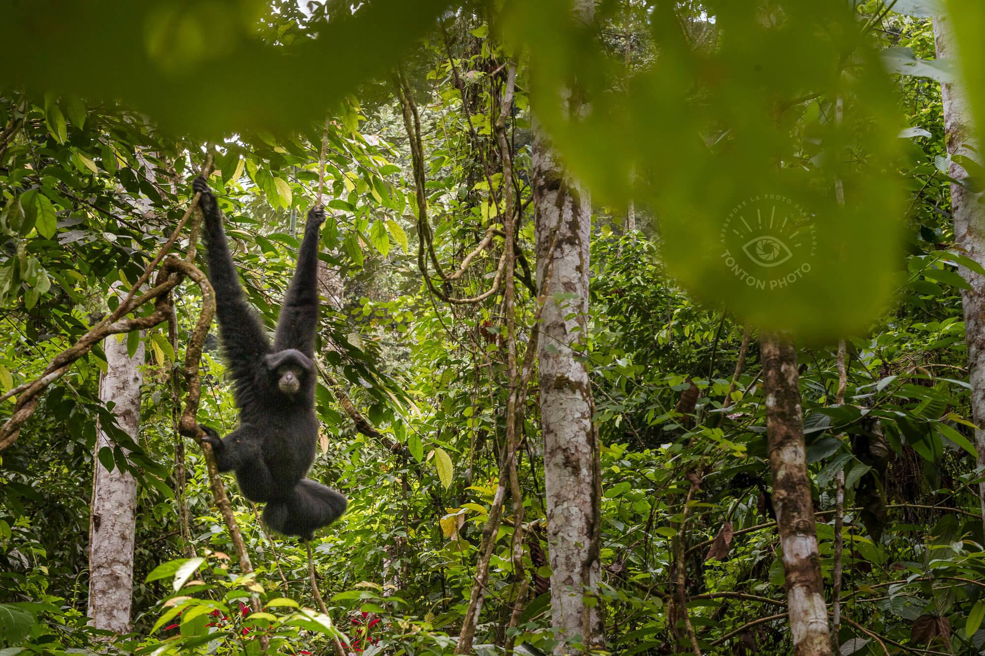 Le zoo inversé : un splendide gibbon noir vient nous observer, comme au spectacle ! Parc National du Gunung Leuser, Sumatra, Indonésie © Clément Racineux / Tonton Photo