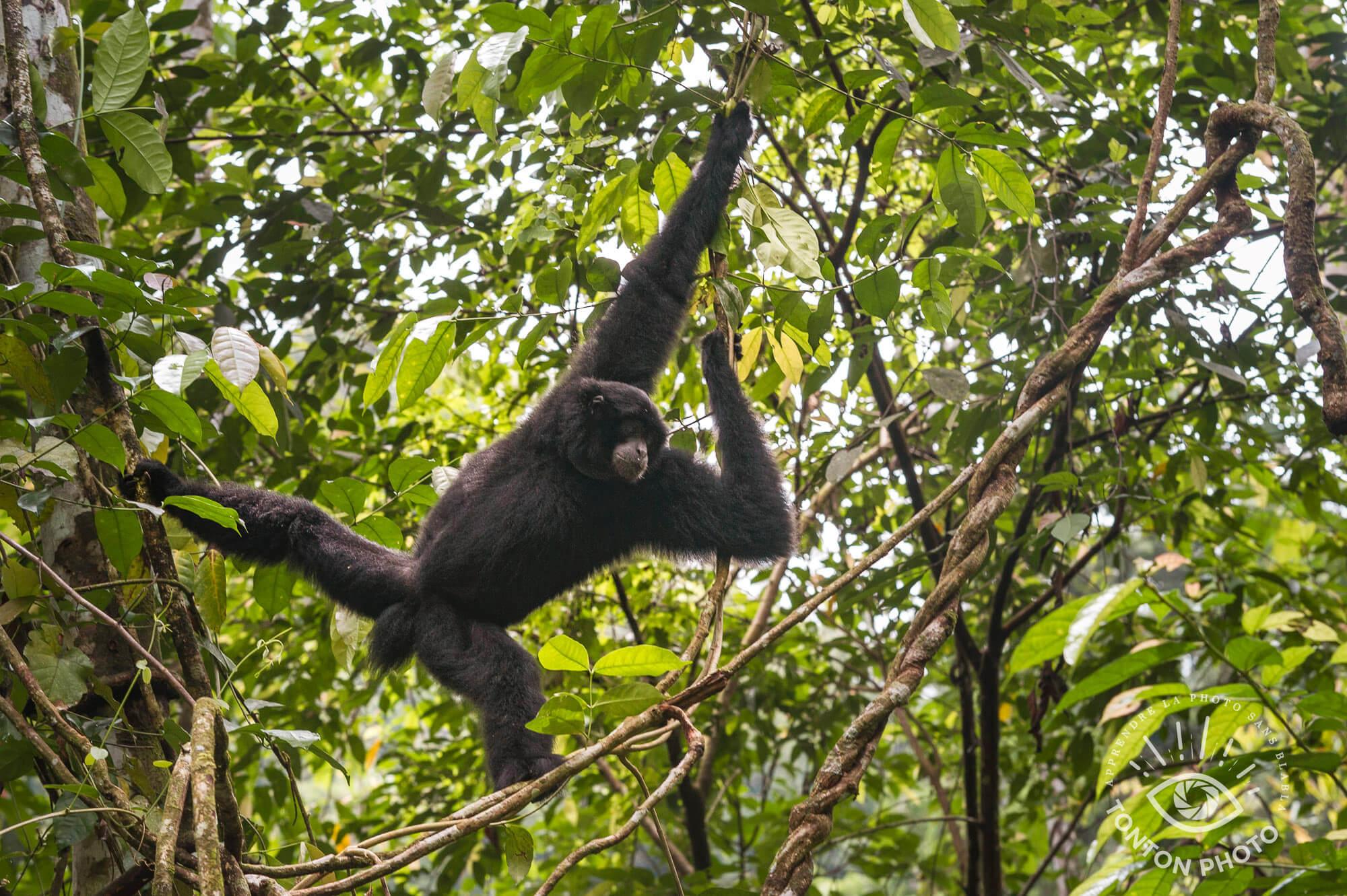 Gibbon noir, Parc National du Gunung Leuser, Sumatra, Indonésie © Clément Racineux / Tonton Photo