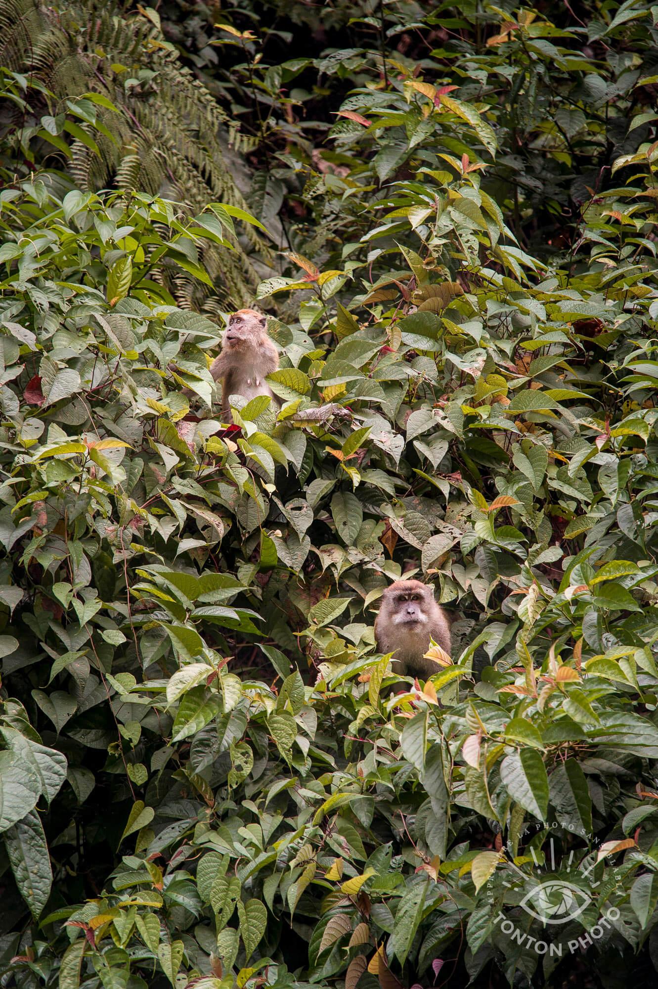 Macaques crabiers curieux venant observer notre campement dans la jungle au petit matin. Parc National du Gunung Leuser, Sumatra, Indonésie © Clément Racineux / Tonton Photo
