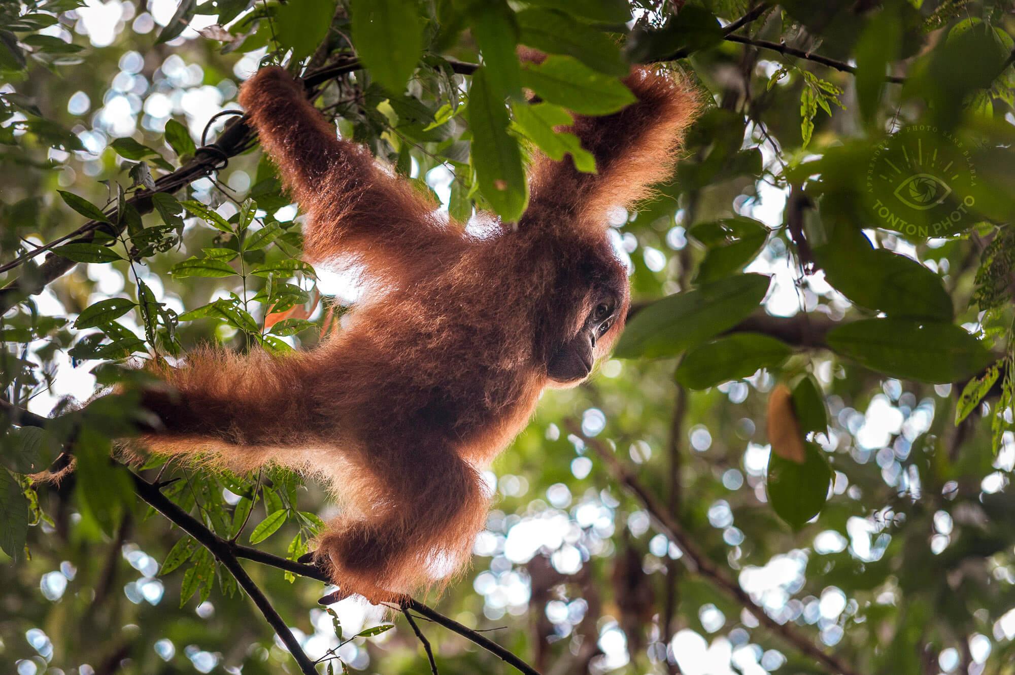 Jeune orang-outan jouant d'une branche à l'autre. Bukit Lawang, Sumatra, Indonésie © Clément Racineux / Tonton Photo