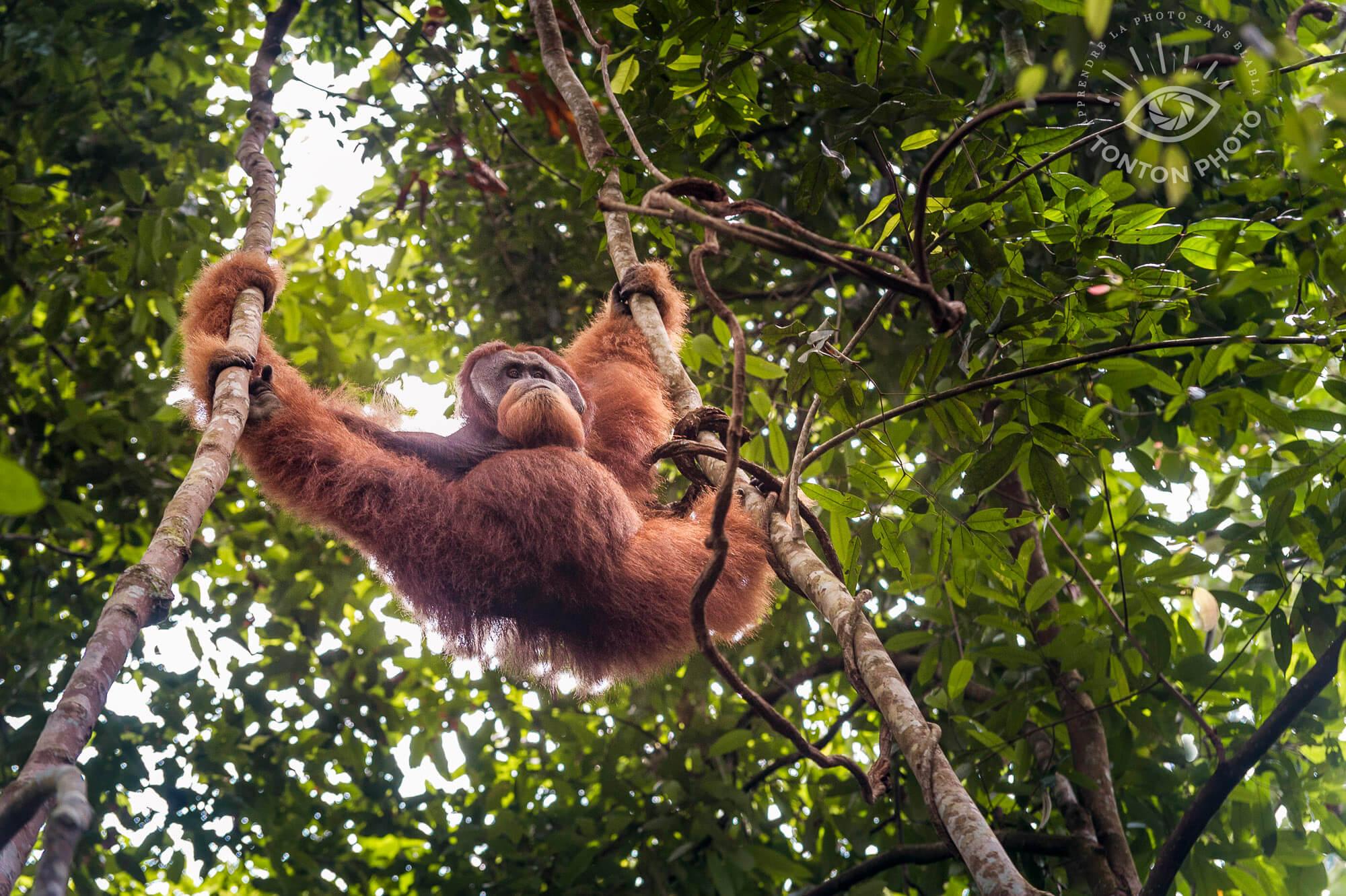La mine avenante d'un mâle dominant ;) Orang-outan de Bukit Lawang, Sumatra, Indonésie © Clément Racineux / Tonton Photo