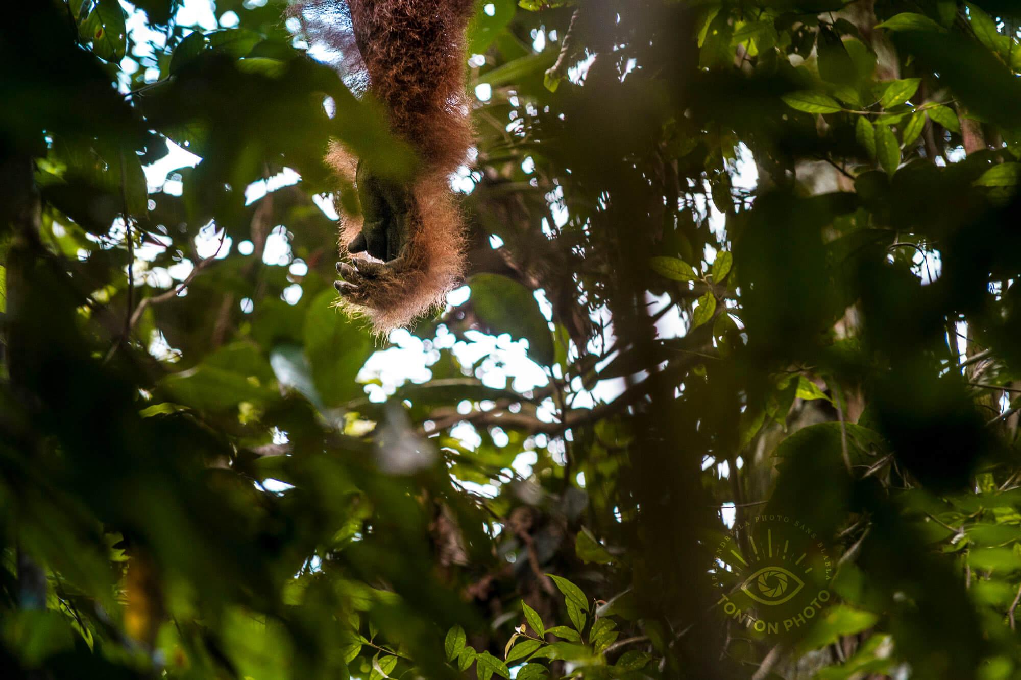 Le bras d'un mâle dominant dépasse dans les feuillages. Orang-outan de Bukit Lawang, Sumatra, Indonésie © Clément Racineux / Tonton Photo
