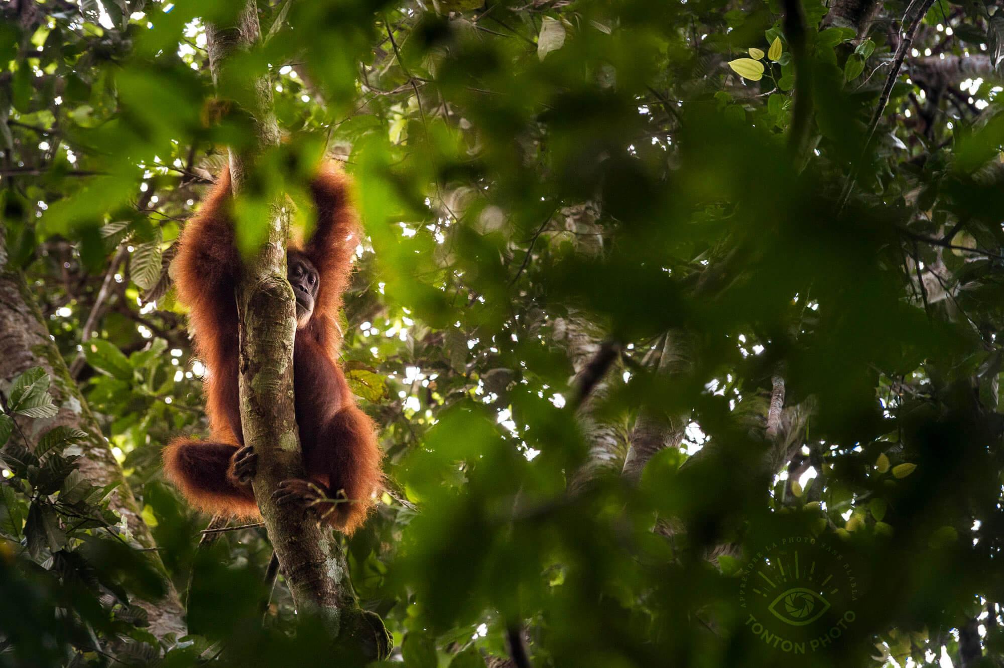 Femelle orang-outan tranquillement couchée dans les branches. Bukit Lawang, Sumatra, Indonésie © Clément Racineux / Tonton Photo