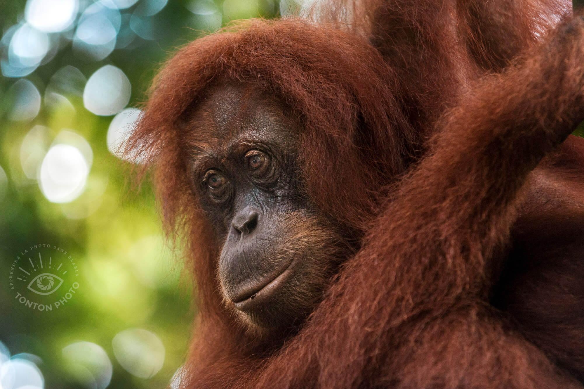 Portrait de femelle orang-outan. Bukit Lawang, Sumatra, Indonésie © Clément Racineux / Tonton Photo