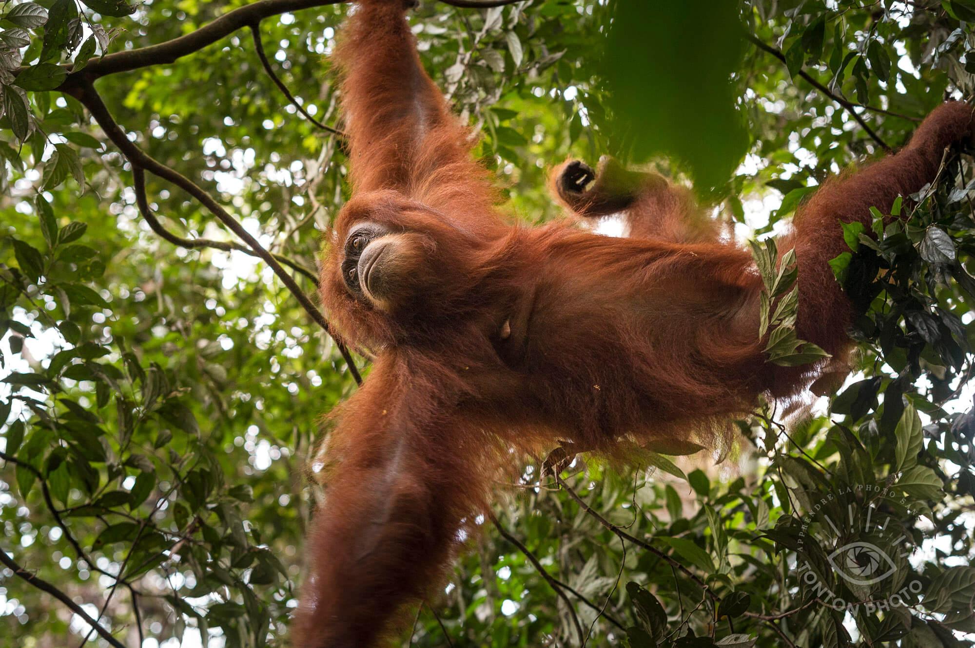 L'émotion est grande quand une femelle orang-outan fait son apparition ! Bukit Lawang, Sumatra, Indonésie © Clément Racineux / Tonton Photo