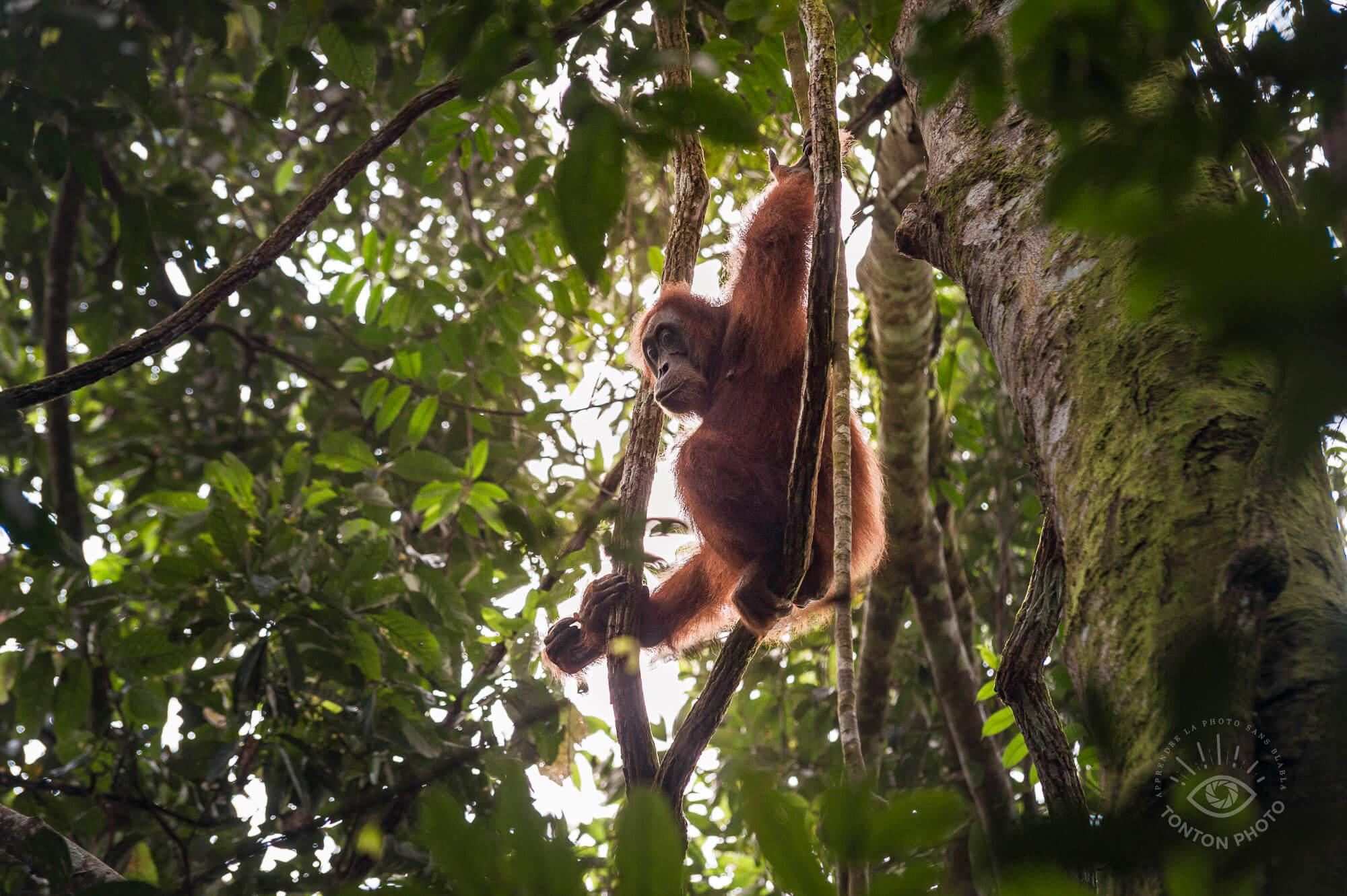 Femelle orang-outan. Parc National du Gunung Leuser, Sumatra, Indonésie © Clément Racineux / Tonton Photo