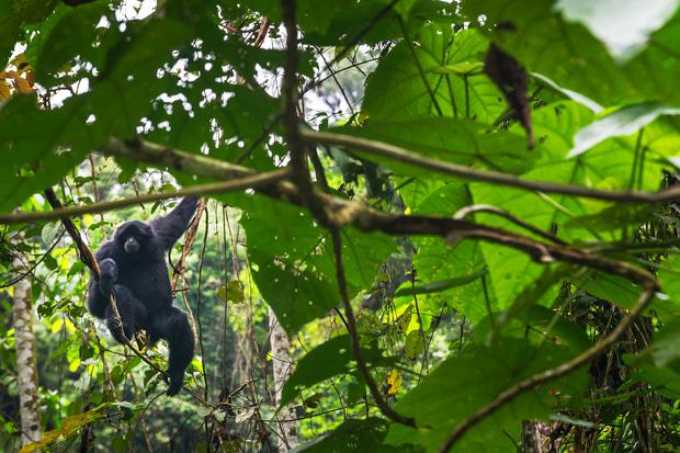 Toujours aussi curieux, le gibbon noir ! Parc National du Gunung Leuser, Sumatra, Indonésie © Clément Racineux / Tonton Photo