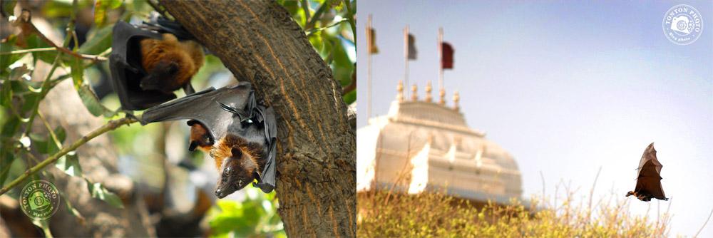 Roussettes, Udaïpur, Rajasthan, Inde - Comment photographier les oiseaux ? - Tonton Photo