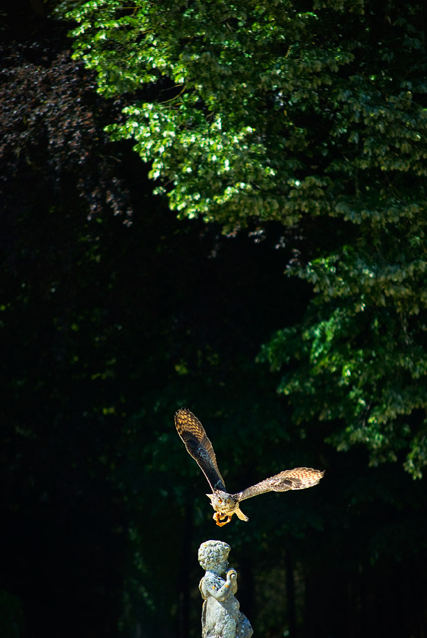 Hibou Grand Duc d'Europe en plein vol - Comment photographier les oiseaux ? - Tonton Photo