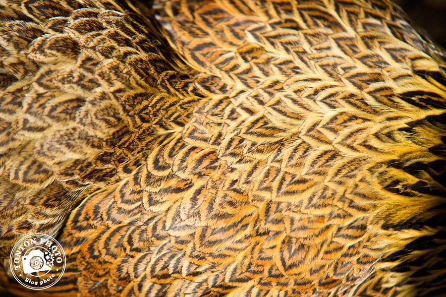 Poule brahma perdrix argenté maillé - Comment photographier les oiseaux ? - Tonton Photo