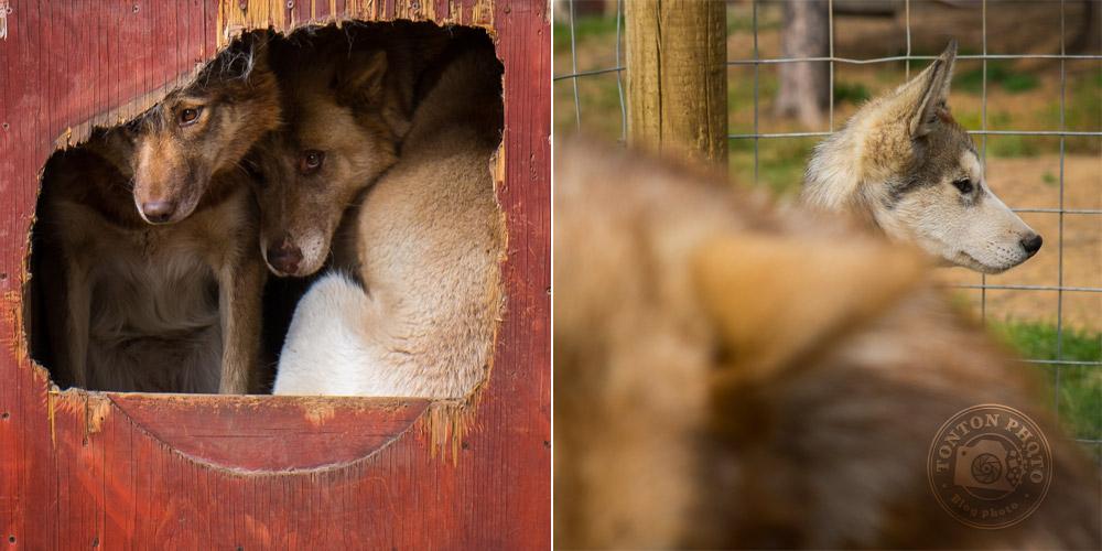 Les chiens de traîneau de Laponie Mush au repos dans leurs enclos. À droite, Gore-Tex, le plus jeune chiot de la meute. Laponie suédoise, © Clément Racineux / Tonton Photo