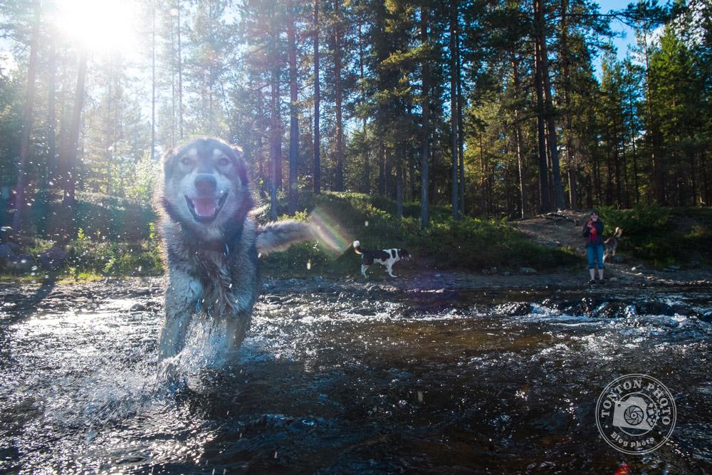 Joyeuse baignade pour Cheyenne, une chienne husky, dans les eaux de la rivière Pite, Laponie, Suède © Clément Racineux / Tonton Photo