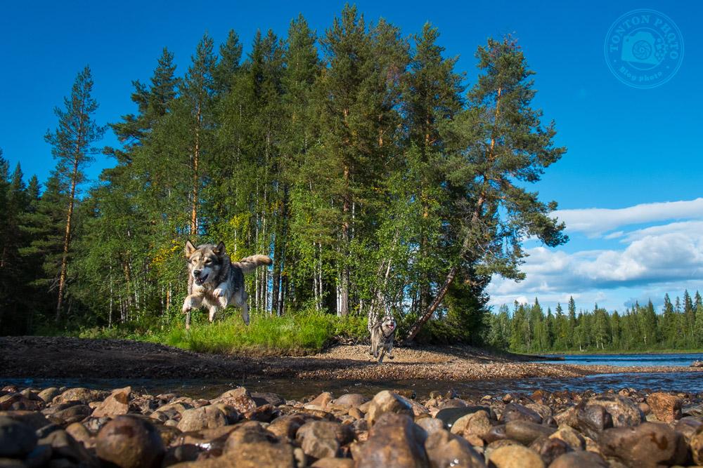 Les chiens de traîneau sont de grands sportifs & ont énormément d'énergie à dépenser. Piteälven, Laponie, Suède © Clément Racineux / Tonton Photo