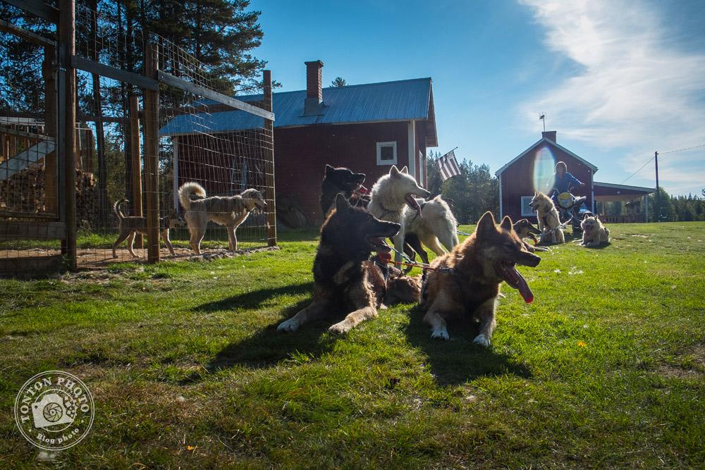 Lorsque les températures fraîches sont de retour, c'est le moment de reprendre l'entraînement. En attendant la neige, un quad remplace le traîneau... Laponie, Suède © Clément Racineux / Tonton Photo
