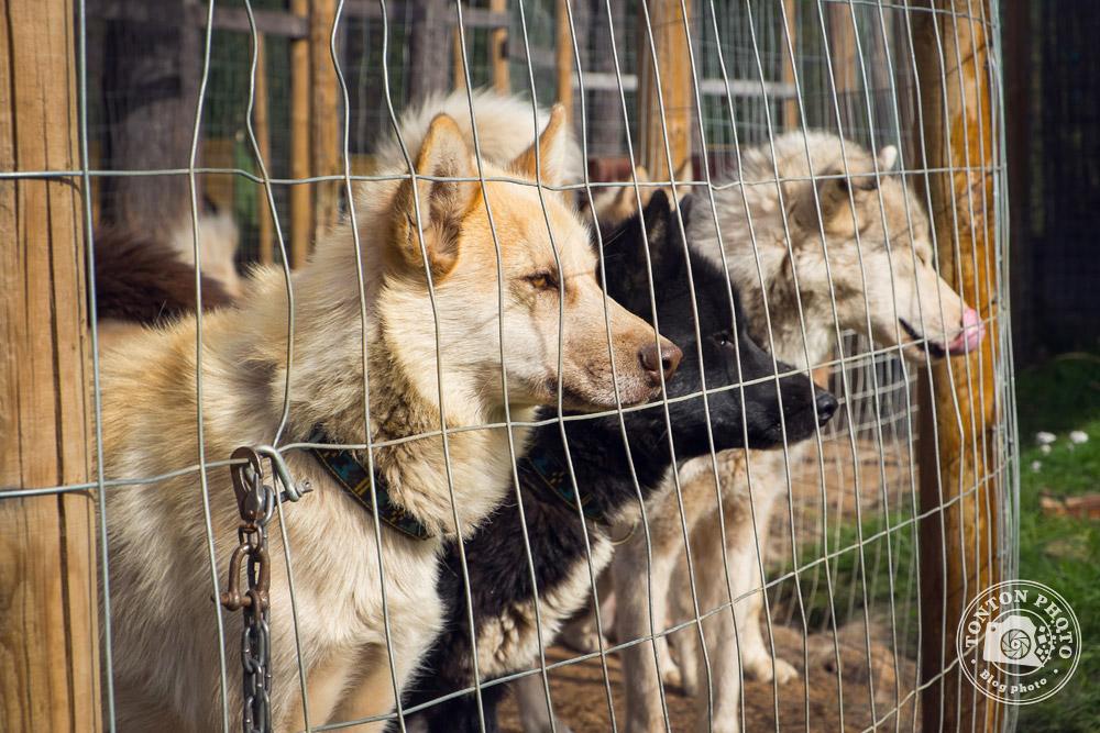 Les chiens de traîneau de Laponie Mush dans leur enclos. Laponie, Suède © Clément Racineux / Tonton Photo