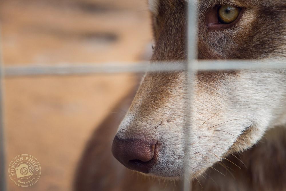 Tchoupi, jeune chien de traîneau de race Malamute. Laponie Mush, Suède © Clément Racineux / Tonton Photo