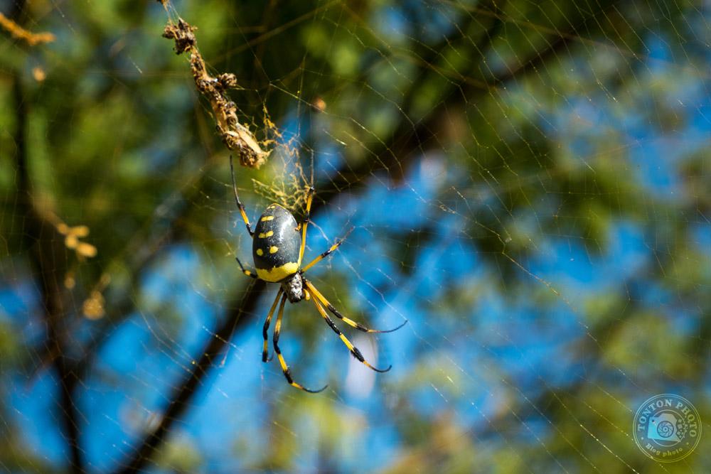 Dans ces paysages désertiques, le moindre arbre est habité par des araignées impressionnantes, majoritairement des Nephila Senagalensis. Tarrafal, Santo Antão, Cap Vert © Clément Racineux / Tonton Photo