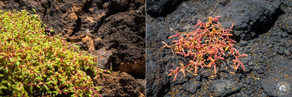 Même au coeur d'un désert de roches volcaniques, de petites plantes parviennent à s'installer et à donner une touche colorée au paysage ! Tarrafal de Monte Trigo, Santo Antão, Cap Vert © Clément Racineux / Tonton Photo