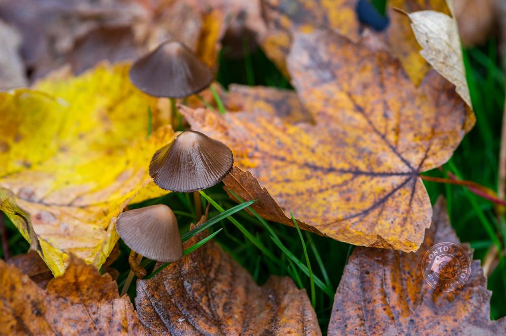 Champignons perçant les feuilles mortes, juste après la pluie © Clément Racineux / Tonton Photo