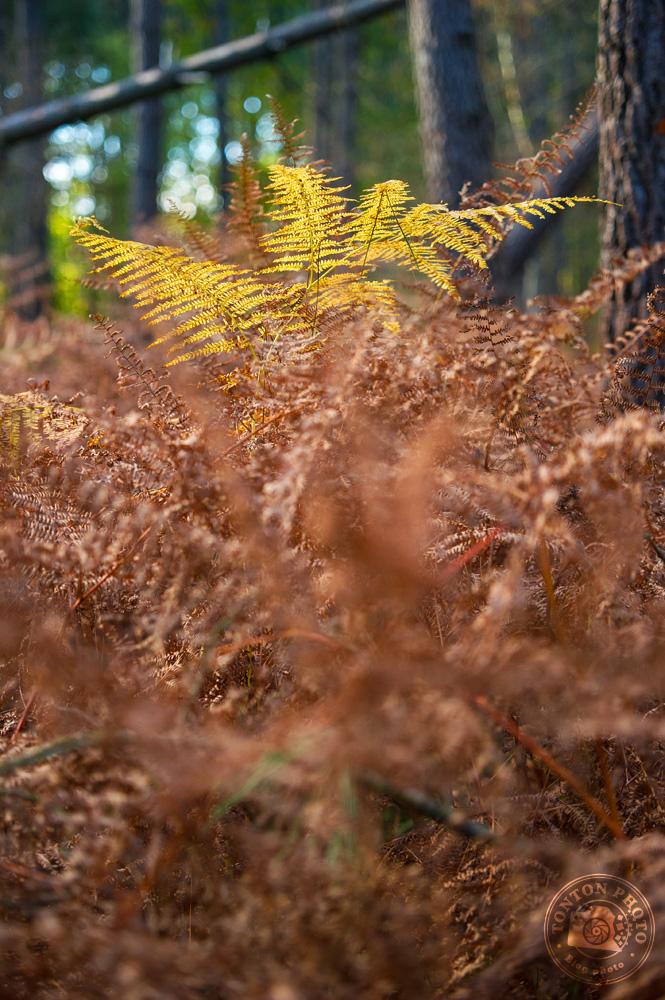 Photographier l'automne et ses couleurs : une fougère jaune au milieu d'une marée de fougères sèches et rousses, et du vert de la forêt © Clément Racineux / Tonton Photo