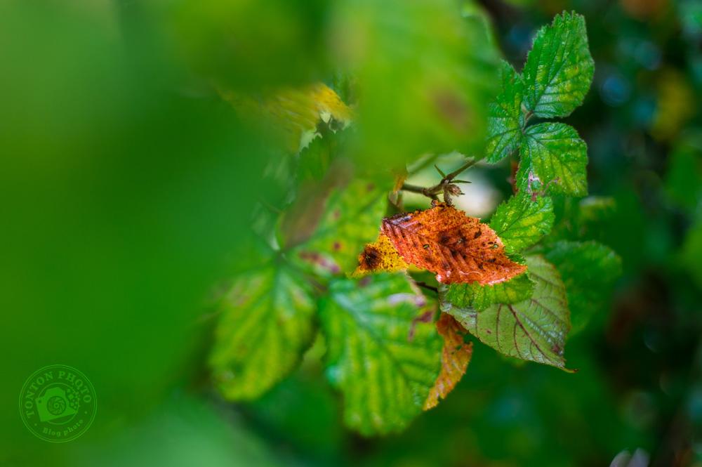 Photographier l'automne et ses couleurs : une feuille rousse prête à tomber, au milieu de feuilles encore toutes vertes © Clément Racineux / Tonton Photo