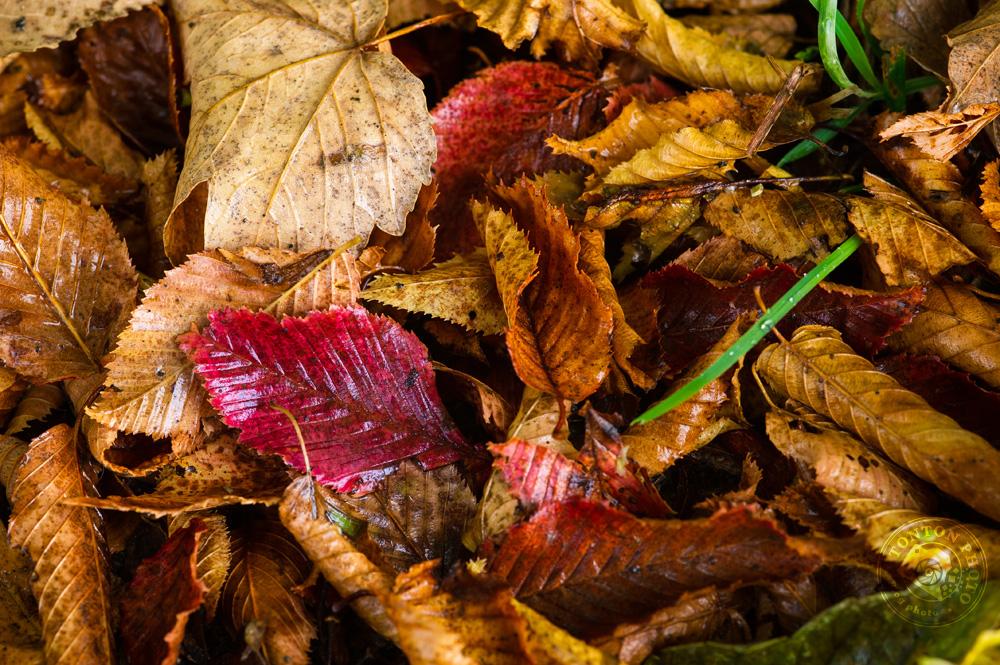 Une feuille d'un magnifique rouge rubis au beau milieu de feuilles rousses... © Clément Racineux / Tonton Photo