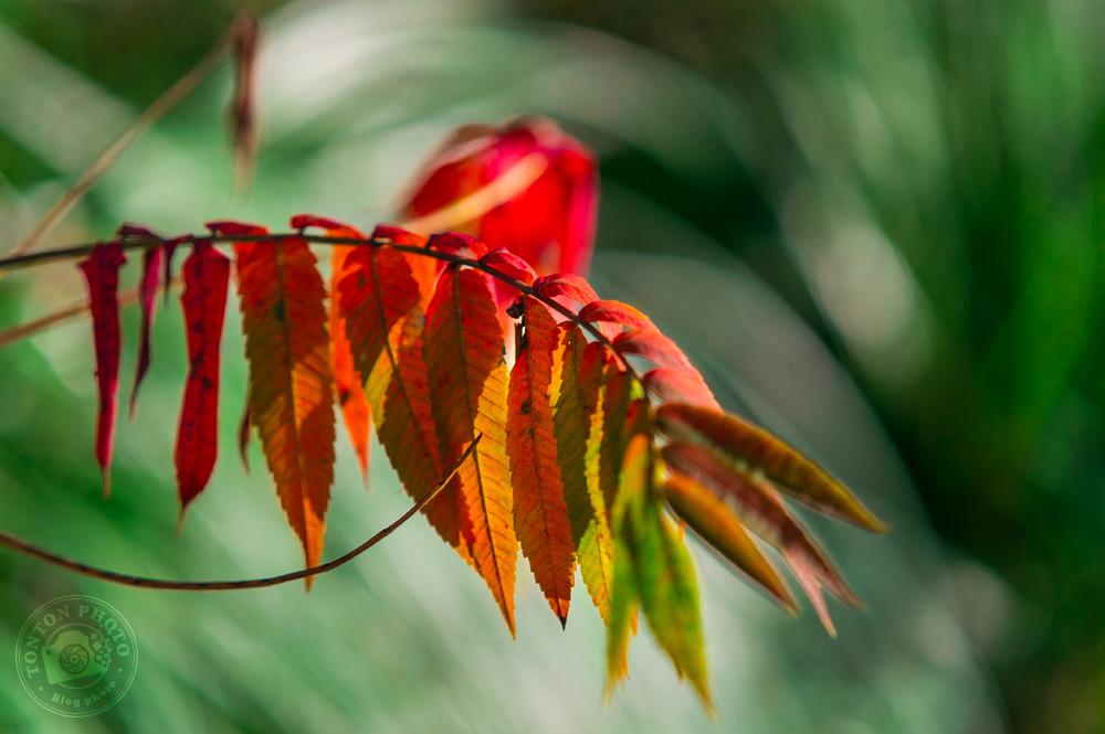 Photographier l'automne et ses couleurs : une branche de feuilles dont le splendide dégradé de couleurs va du rouge vif au orange, sur fond de végétation verte © Clément Racineux / Tonton Photo