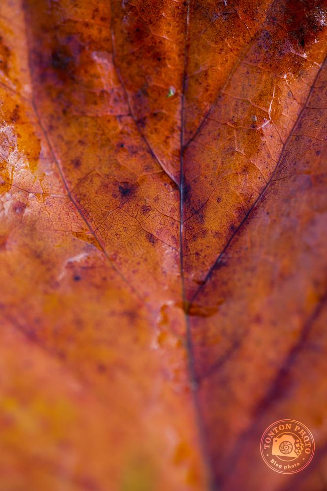 Les nervures d'une feuille morte dont la couleur est splendide © Clément Racineux / Tonton Photo