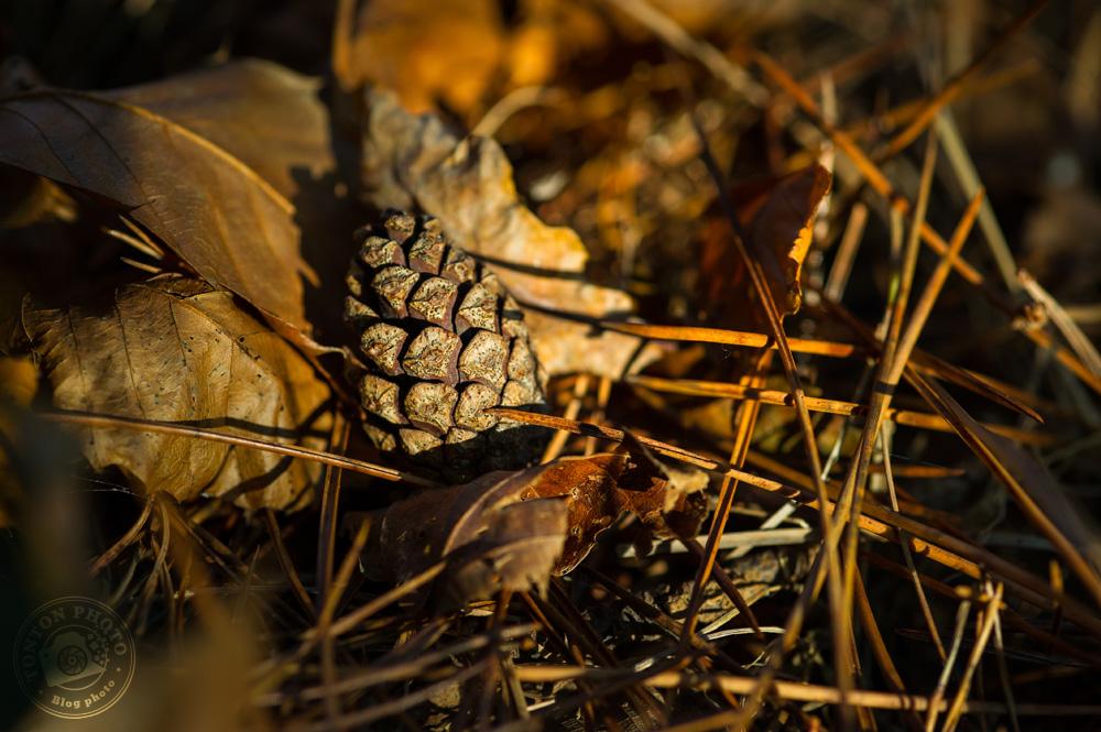 Pomme de pin, feuilles mortes, couleurs brunes et rousses... pas de doute, on est bien en automne ! © Clément Racineux / Tonton Photo