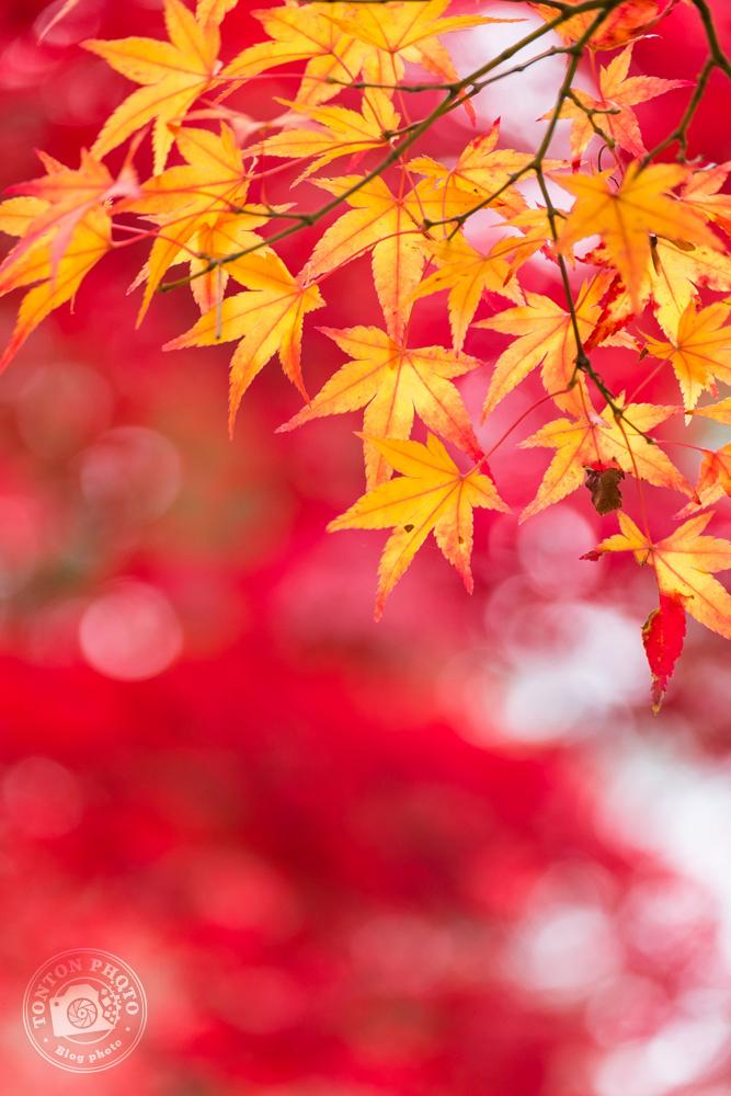 Les splendides couleurs d'automne dans les arbres de Koyasan, Japon © Clément Racineux / Tonton Photo