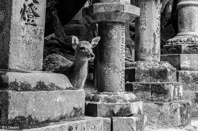 Biche entre les lanternes anciennes du temple Kasuga Taisha, Nara, Japon © S. Durand