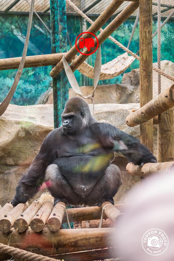 Gorille dos argenté, zoo de Beauval © Clément Racineux / Tonton Photo