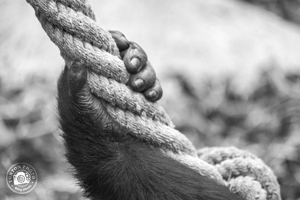 La main puissante d'un gorille dos argenté, zoo de Beauval © Clément Racineux / Tonton Photo