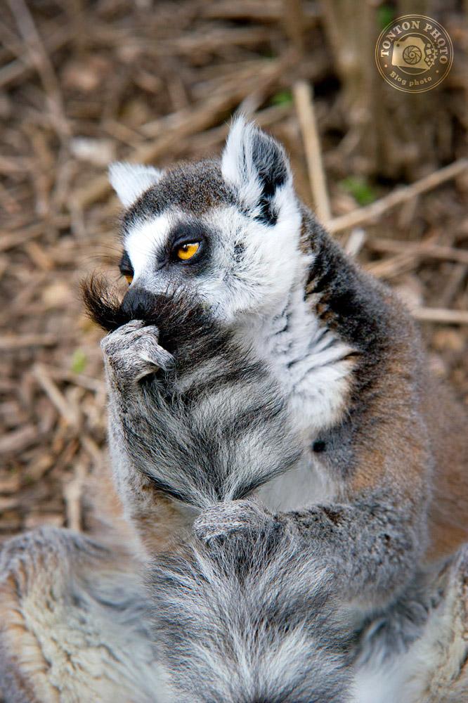 Lémurien Maki Kata, zoo de Champrepus © Clément Racineux / Tonton Photo