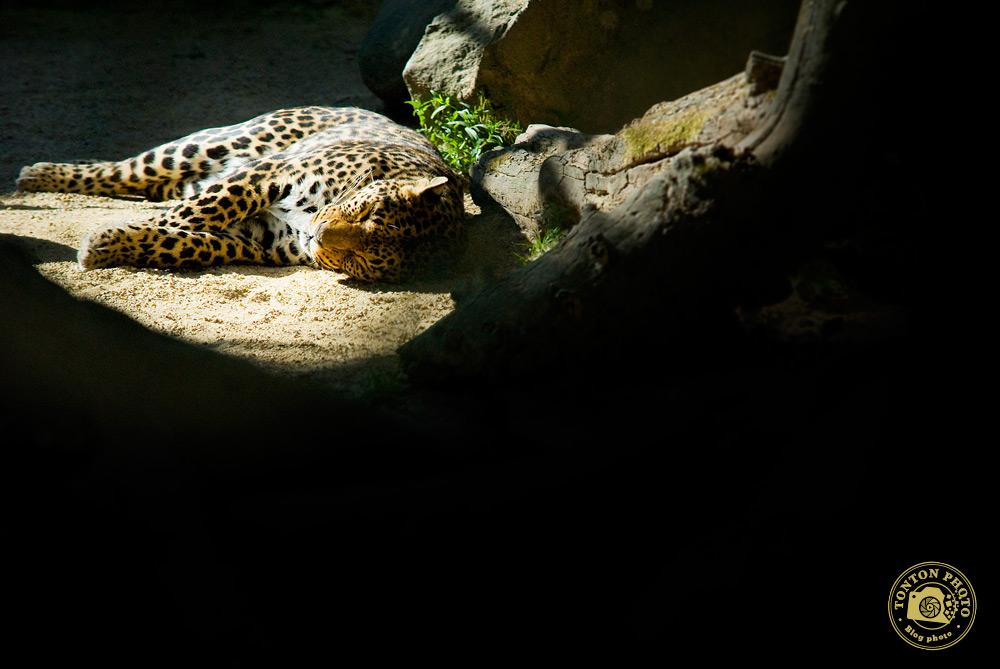 Léopard, zoo de La Bourbansais © Clément Racineux / Tonton Photo