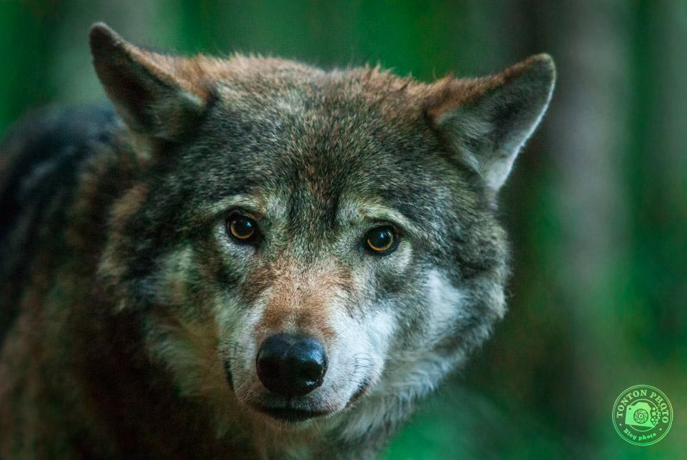 Loup, réserve de Nordens Ark, Suède © Clément Racineux / Tonton Photo
