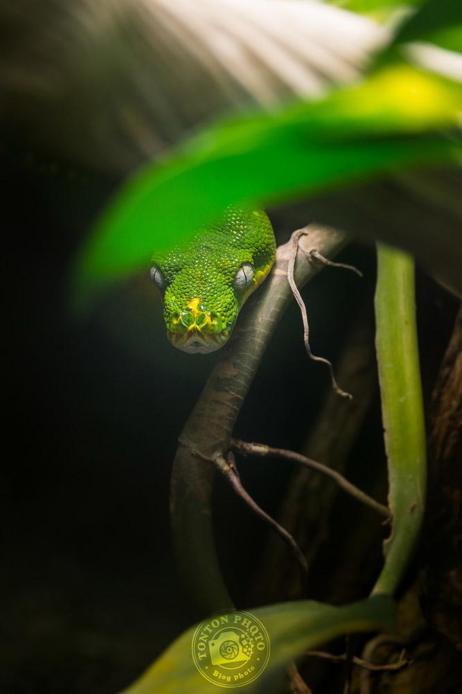 Python vert arboricole, zoo de Beauval © Clément Racineux / Tonton Photo