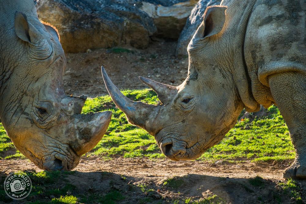 Rhinocéros blancs au zoo de Beauval © Clément Racineux / Tonton Photo