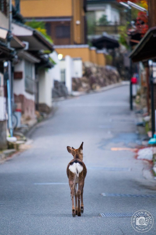 Les biches et cerfs japonais déambulent en toute liberté dans les rues de Miyajima, protégés par le caractère sacré de l'île. Japon © Clément Racineux / Tonton Photo