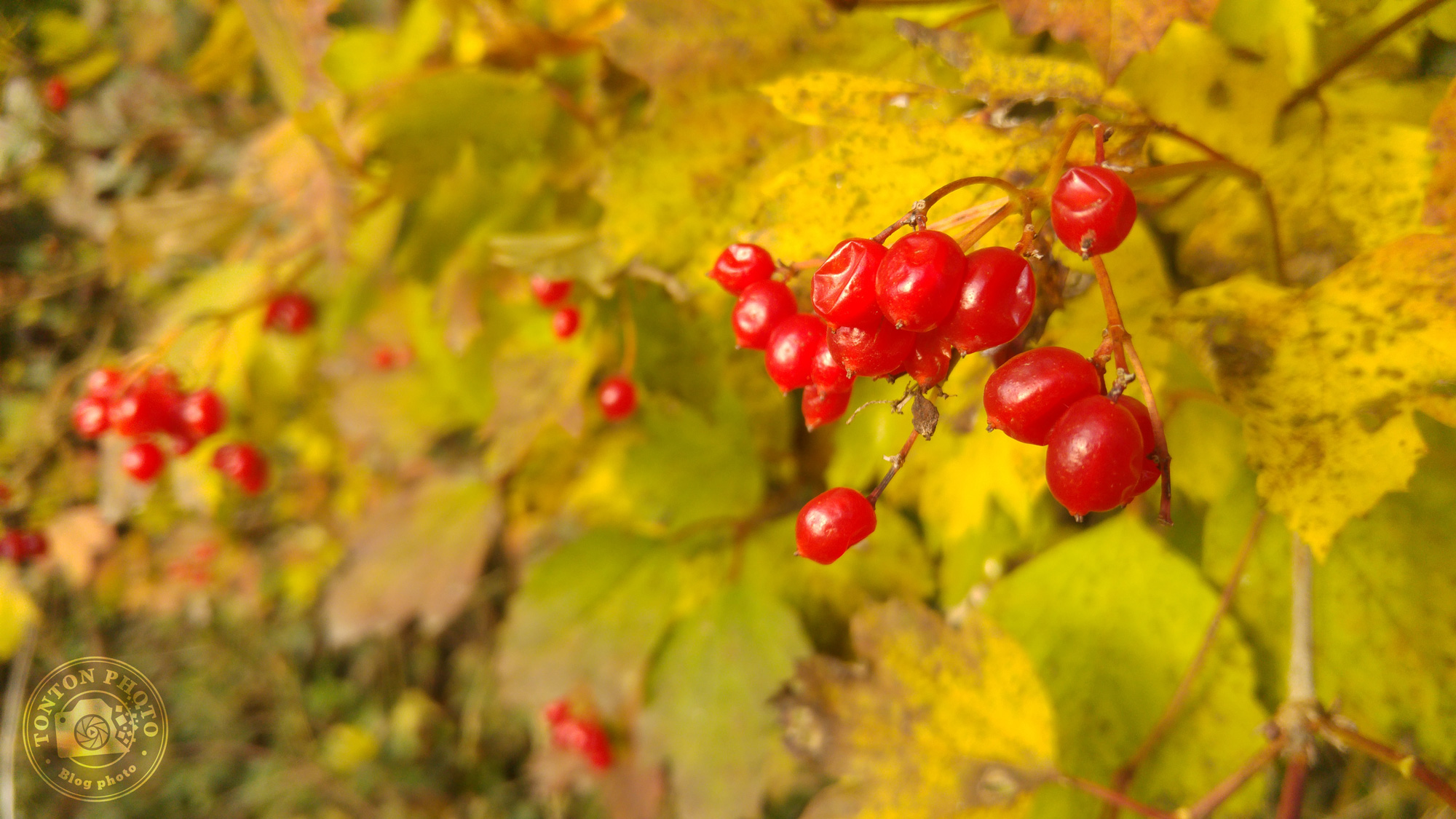 Test du photophone LG G4 : Baies rouges et feuillages d'automne. F/1.8 - 1/120 - ISO 50 © Clément Racineux / Tonton Photo