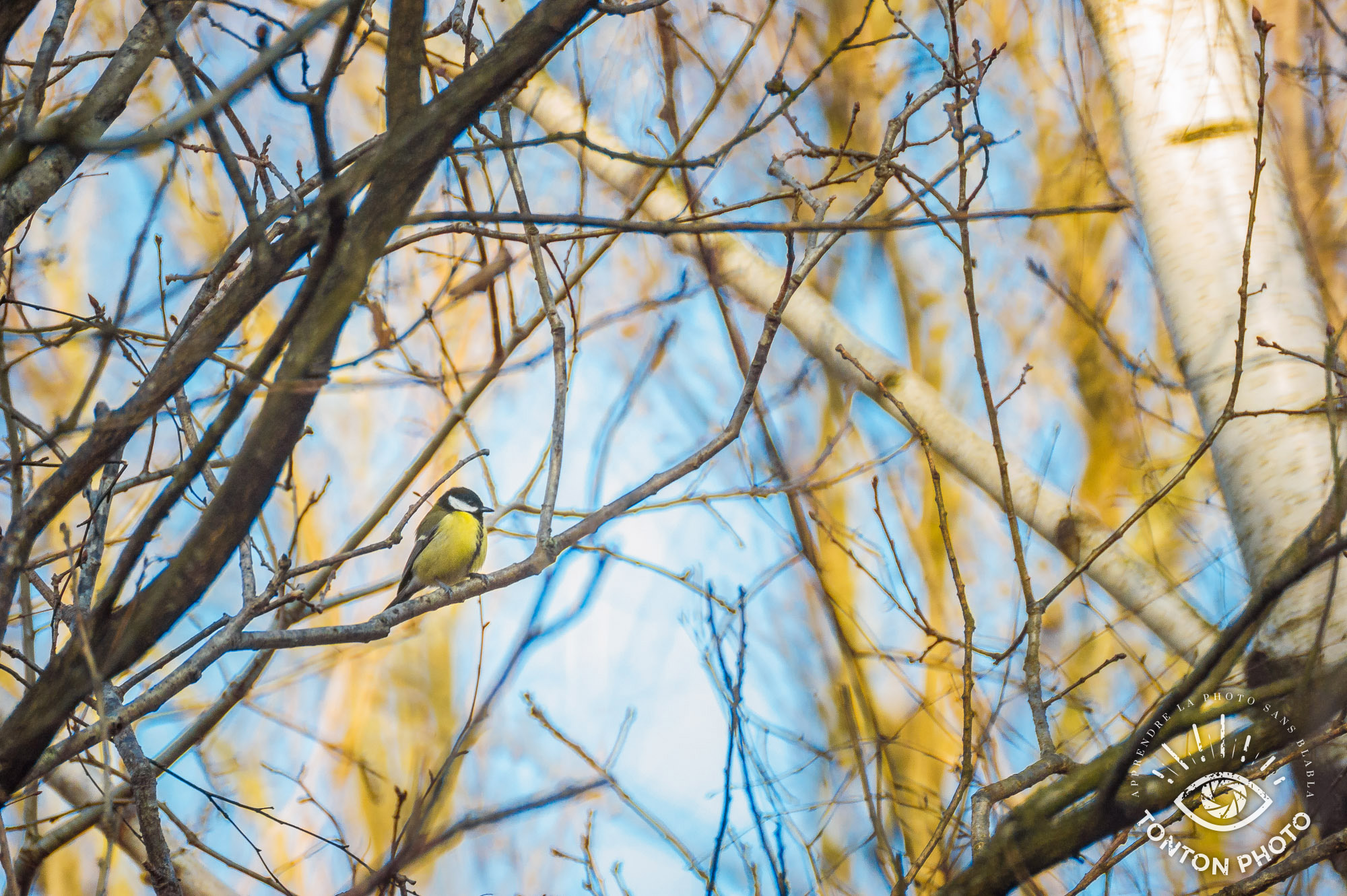 Mésange dans les branches dévêtues par l'hiver. Télé-objectif Samyang 500mm f/6.3 MC IF © Tonton Photo
