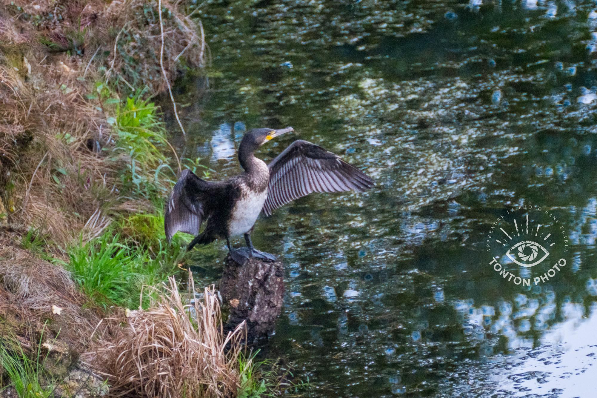 Cormoran séchant ses ailes au bord d'un étang où il vient de pêcher. Télé-objectif Samyang 500mm f/6.3 MC IF © Tonton Photo