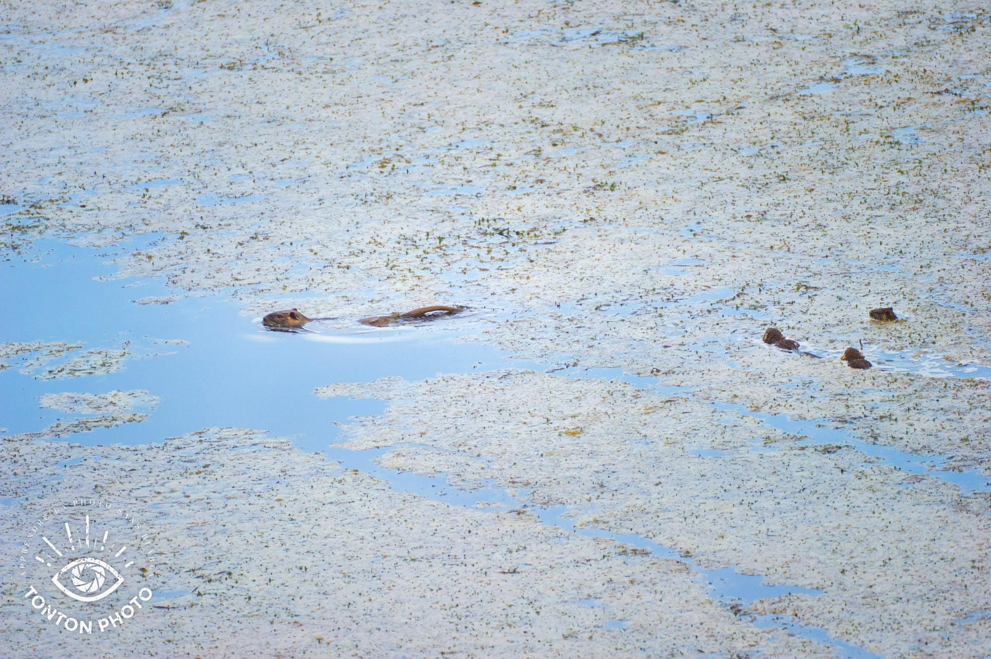 Une famille de ragondins. Télé-objectif Samyang 500mm f/6.3 MC IF © Tonton Photo