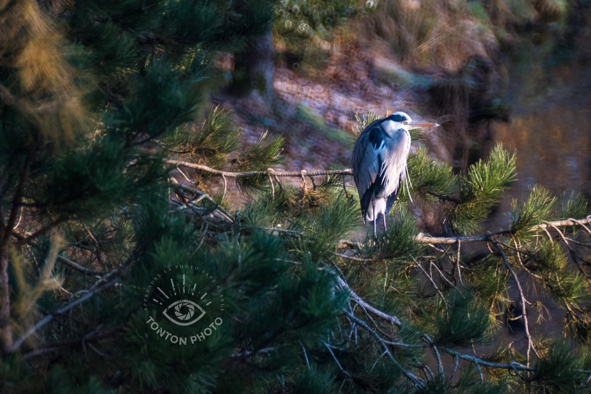 Pour les amateurs d'ornithologie (ici, un héron cendré) et d'animaux en général, le télé-objectif Samyang 500mm f/6.3 MC IF est un achat intéressant pour s'amuser sans se ruiner © Tonton Photo