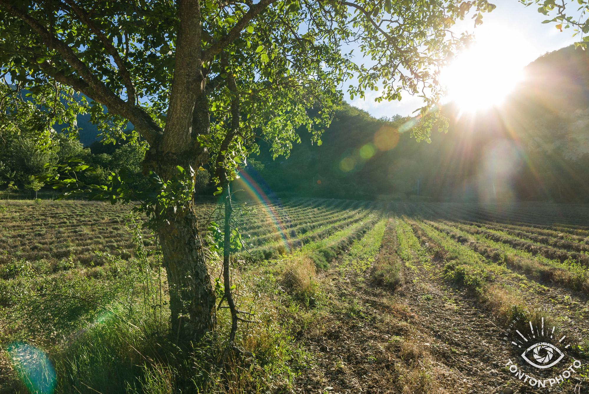 En cachant partiellement le soleil derrière la montagne, j'ai pu capturer les rayons du soleil pour illustrer le fait que les champs de lavande sont baignés de soleil dans cette vallée de la Drôme, France. © Tonton Photo