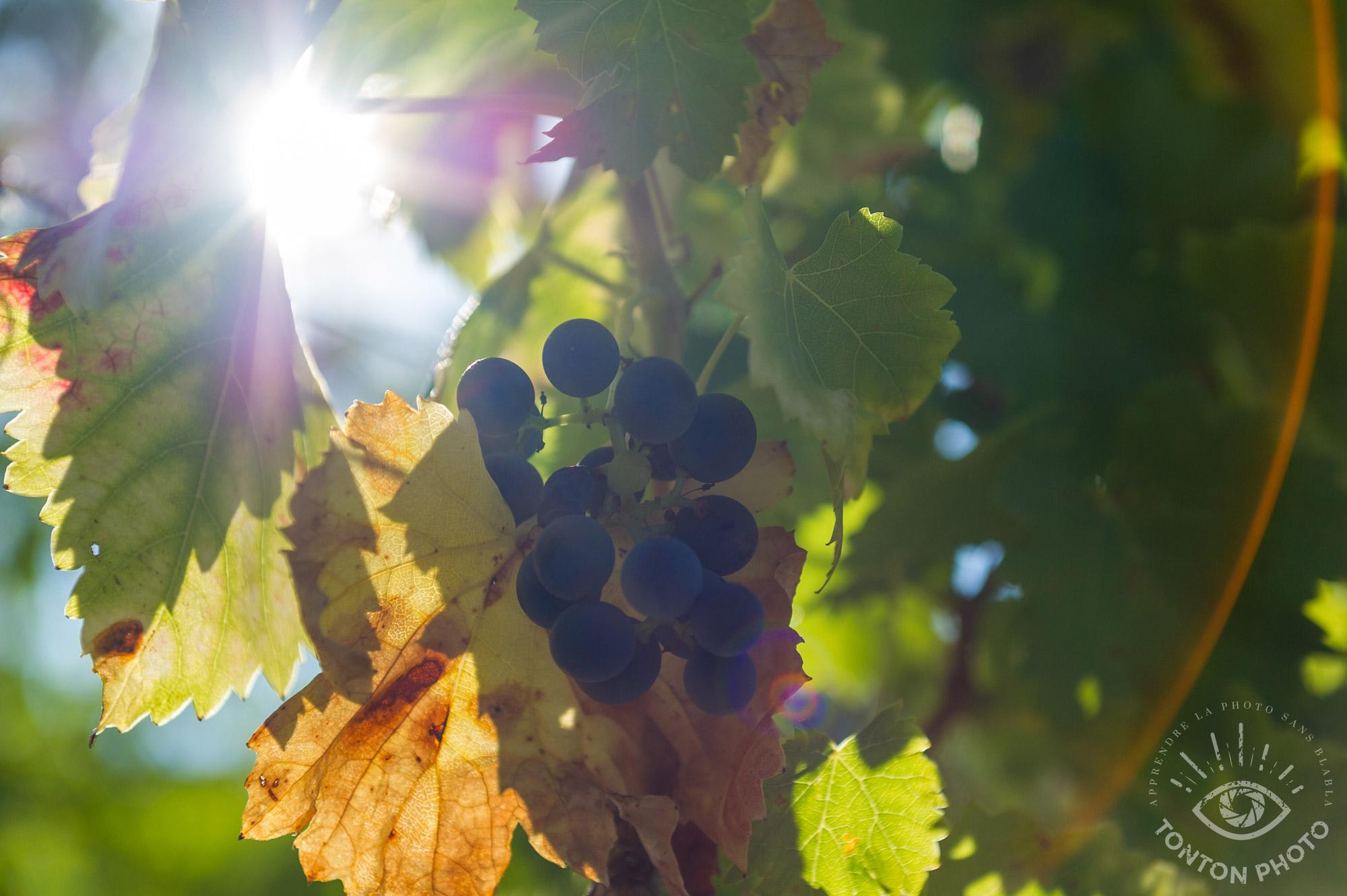 En cachant partiellement le soleil derrière les feuilles de vigne, j'ai pu capturer à la fois les raisins et le soleil qui les rétro-éclaire, sans pour autant tomber dans le piège du contre-jour. Drôme, France. © Tonton Photo