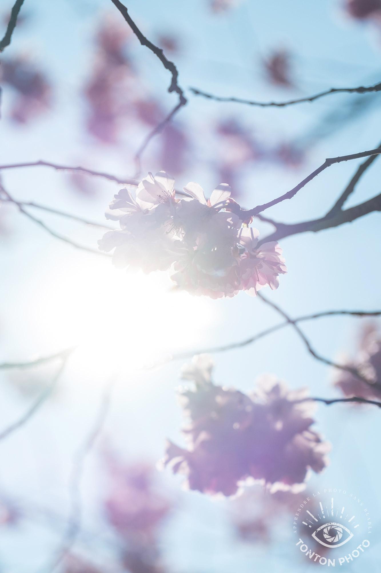 Soleil  de printemps caché derrière les fleurs de cerisier. Si je n'ai pas pu capter la forme des rayons car j'avais choisi une grande ouverture pour obtenir une faible profondeur de champ, le halo solaire est là et restitue exactement l'ambiance que j'ai vécue sur place. © Tonton Photo