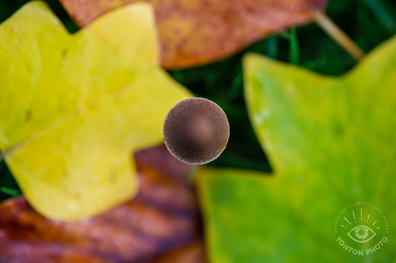 Tout petit champignon caché dans les feuilles mortes d'automne sur le bas-côté d'un parking en ville. Invisible à qui ne prend pas le temps de regarder ! © Tonton Photo