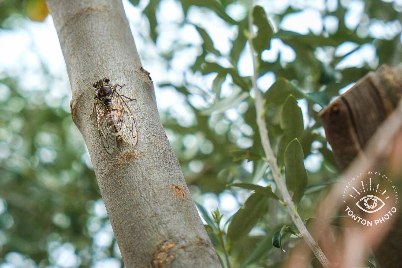 La cigale est un insecte très difficile à repérer. Si on l'entend facilement, on la voit difficilement. Il faut donc observer patiemment et attentivement pour la repérer © Tonton Photo